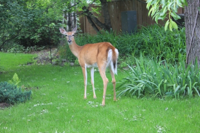 You might be safer in Charleswood on a bike--when was the last time a cyclist hit a deer?