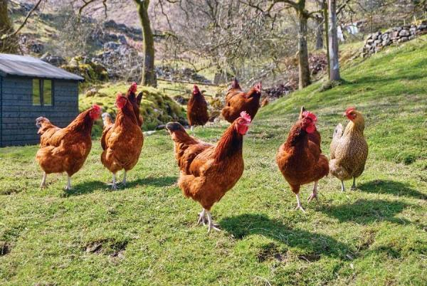 Free-ranging chickens will eat just about anything, as I witnessed when a girl.