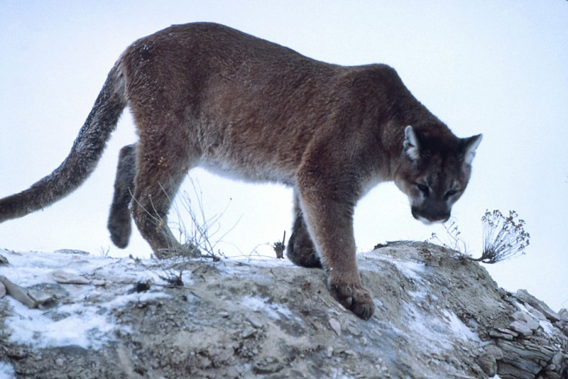 Cougar population seems to be rebounding.