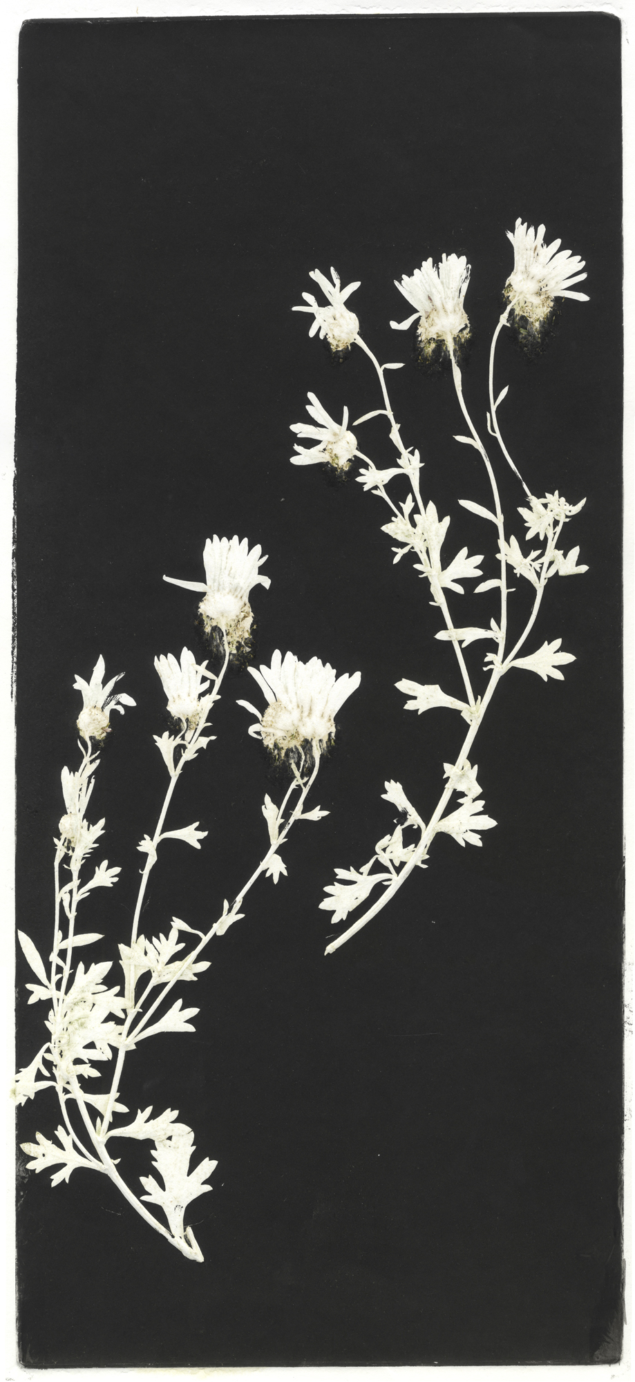 Artist Sandra Campbell's mono print of a daisy, part of her work entitled, My Garden.
