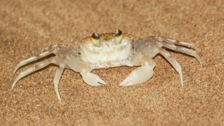 """This little fella was only about 1"""" around. Had fun chasing them on the beach at night with our flashlights"""