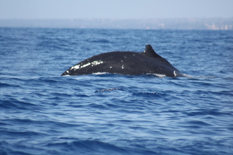 """Young whale in the """"peduncle arch"""" - as whales come up to breath, the motion causes the top hump of their back to be exposed - this is how they became known as humpbacks. /SUZANNE HUNTER"""