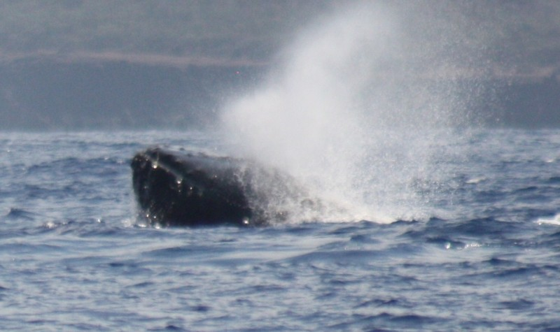 "Humpback ""spyhopping"" - raising it's head out of the water. Researchers think this is to check activity on the surface. It's eyes are the size of grapefruits. /SUZANNE HUNTER"