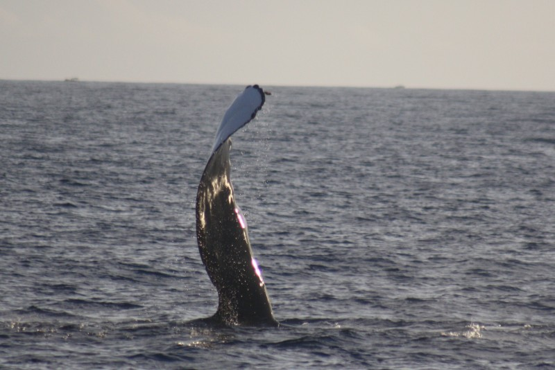 Humpback fins are 12 to 15 feet long
