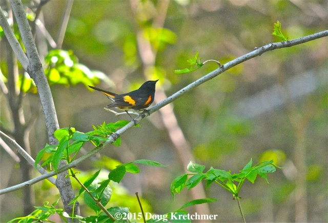 American Redstart Warbler on walkway near the Forks. PHOTO by Doug Kretchmer