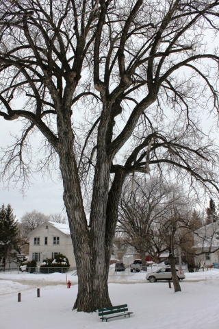 Point Douglas cottonwood: standing tall at 88 feet and dating from the 1800s, one of three provincial heritage trees recently designated. PHOTO by Greg Petzold