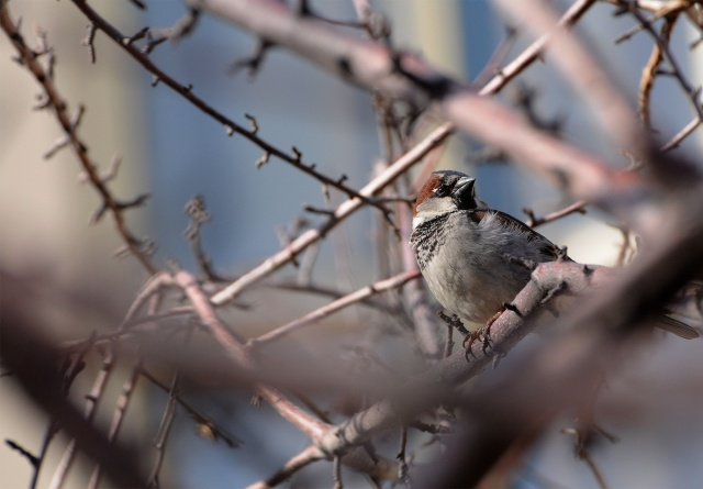 House sparrow.<br /><em>Submitted by C. Napper</em>