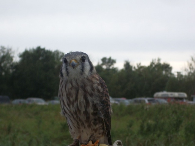 Young hawk.<br /><em>Submitted by Noah Erenberg</em>