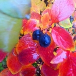 Autumn berries after rain.<br /><em>Submitted by Sangeetha Nair</em>