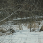 Timber Wolf in freshly fallen snow.<br /><em>Submitted by Terri Chick-Gall</em>