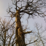 Old oak tree.<br /><em>Submitted by Noah Erenberg</em>