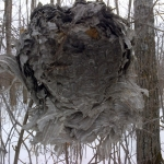 Old wasp nest in forest.<br /><em>Submitted by Noah Erenberg</em>