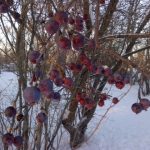 Winter crab apples.<br /><em>Submitted by Noah Erenberg</em>