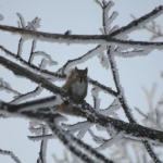 Hungry squirrel in frosty tree.<br /><em>Submitted by Moses Falco</em>