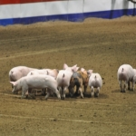 Going hog wild at Royal Manitoba Winter Fair.<br /><em>Submitted by Linda Walker</em>