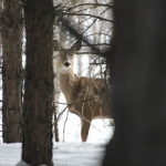 Sharing a gaze with a deer in Bird's Hill Park.<br /><em>Submitted by Moses Falco</em>