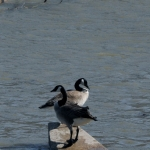 Geese on the river.<br /><em>Submitted by C. Napper</em>