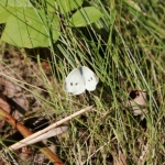Cabbage moth in the grass at Camp Manitou.<br /><em>Submitted by Jenna Friesen</em>