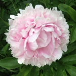 Big pink peony.<br /><em>Submitted by Bee Erenberg</em>