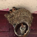 Baby swallows get ready to fly.<br /><em>Submitted by Steve Raizen</em>