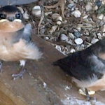 Baby swallows.<br /><em>Submitted by Steve Raizen</em>
