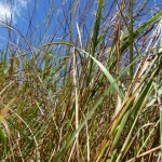 End of summer tall grass prairie.<br /><em>Submitted by Holly Cain</em>