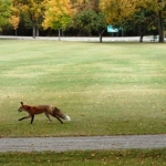 Fox in park.<br /><em>Submitted by Greg Petzold</em>