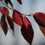 Red leaves.<br /><em>Submitted by C. Napper</em>