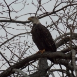 Bald eagle.<br /><em>Submitted by Paul Nielsen</em>