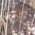 Red tailed hawk.<br /><em>Submitted by Noah Erenberg.</em>
