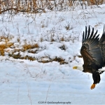 Eagle in flight.<br /><em>Submitted by Doug Kretchmer</em>