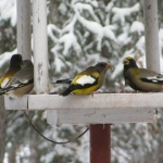 Evening Grosbeaks at the feeder.<br /><em>Submitted by Marie LeBlanc</em>