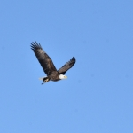 Bald eagle over downtown train yards.<br /><em>Submitted by Doug Kretchmer</em>