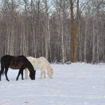 Horses near Piney, Manitoba.<br /><em>Submitted by Doug Kretchmer</em>
