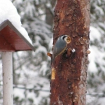 Chickadee doesn't seem to mind the weather.<br /><em>Submitted by Marie LeBlanc</em>