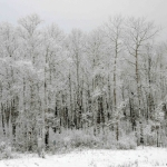 Hoar frost forest in Piney, Manitoba.<br /><em>Submitted by Doug Kretchmer</em>