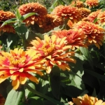 Zinnias.<br /><em>Submitted by Noah Erenberg.</em>