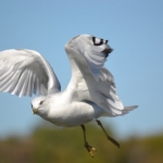 Ring-billed Gull in flight.<br /><em>Submitted by Charlie McPherson</em>